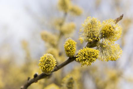 sallow: sallow blooms in spring