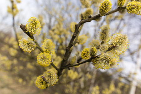 sallow: sallow blooms in spring weather