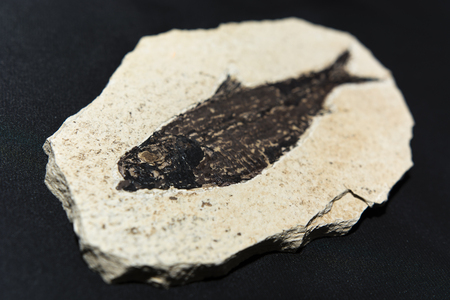 fossilized: fossilized fish from the Tertiary Knightia eocaena
