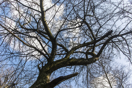 differ: crown of the tree in spring without differ with the background of blue sky and white clouds Stock Photo