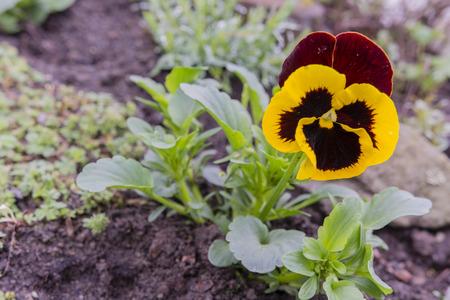 khaki: Flower pansies khaki