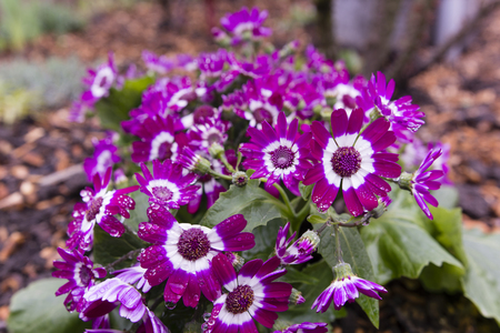 white trim: purple flowers with white trim on the flowers in the garden