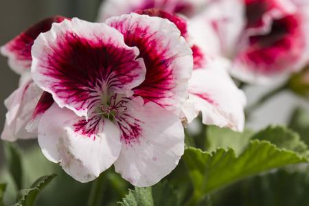 ゼラニウムの花の紫と白 写真素材