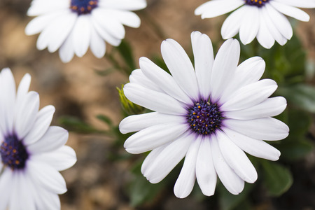 bark mulch: white daisy flowers in the garden with bark mulch Stock Photo