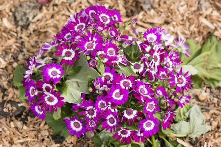 purple flowers with white inner rim of a daisy in the garden with bark mulch Stock Photo