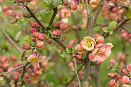 membrillo: flores de color naranja Arbusto de membrillo