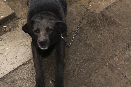 guides: protracted black dog with a chain instead Guides Stock Photo