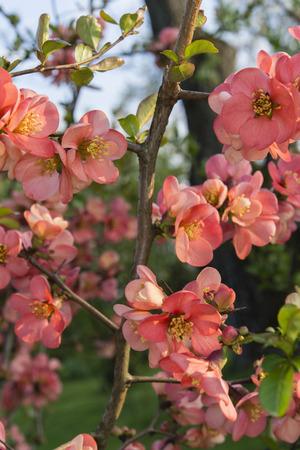 membrillo: flores rojas sobre un �rbol de membrillo Foto de archivo