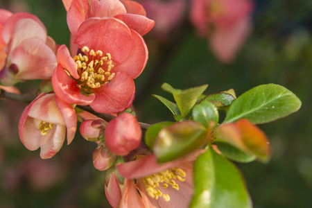 quince: red flowers on a quince tree