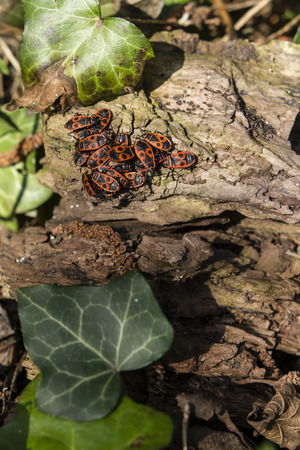 reproduce: Family bugs basking in the sun on the bark of a tree