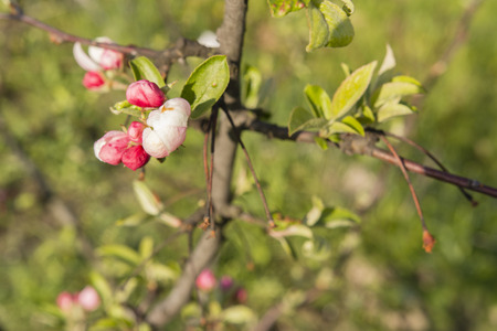 pinkish: pinkish buds flowering apple tree with branches and green leaves