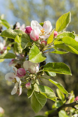 pinkish: pinkish flowers of apple tree with green leaves on a branch