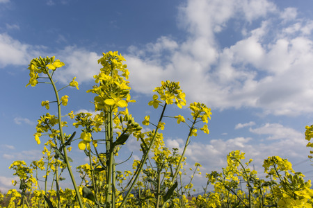canola plant: oleaginous rape yellow flowers and blue sky with clouds