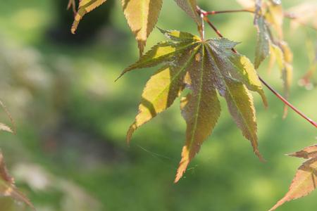 brownish: brownish leaves of ornamental maple Stock Photo
