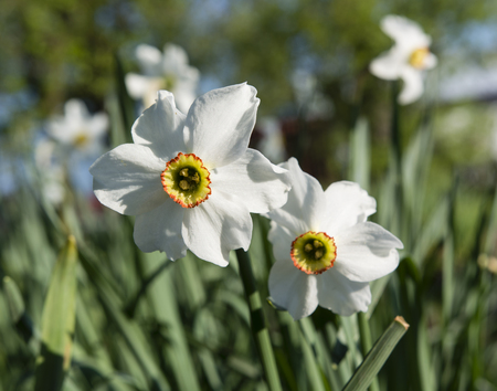 white trim: white narcissus flower with orange middle with red trim