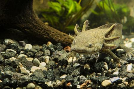 aquarium hobby: Axolotl in the aquarium Stock Photo