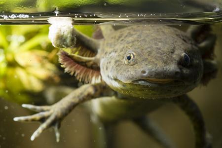 Axolotl in het aquarium