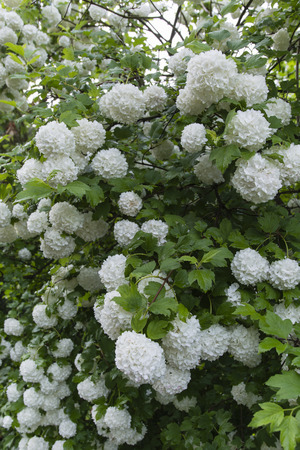 shrubs: white flowers decorative shrubs Viburnum opulus