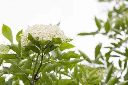 subtlety: elderberry flowers on the bush