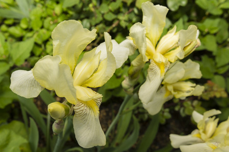 finesse: yellow iris flower