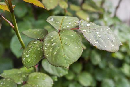 morning dew: leaf rose with morning dew drop