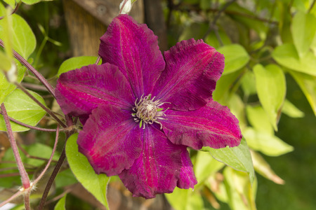 clematis flower: purple clematis flower with a yellow center Stock Photo