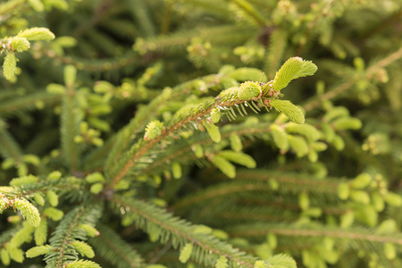 spruce: young spruce growths Stock Photo