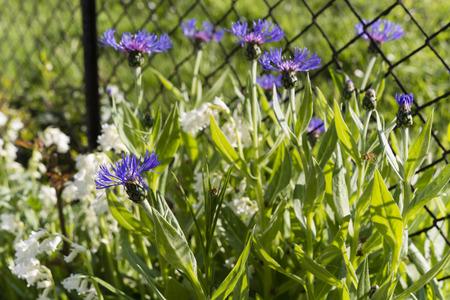 garden cornflowers: cornflowers flower growing in the garden