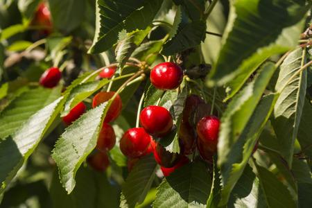 blushing: Blushing cherries on a tree