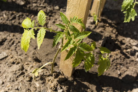 stake: tomatore green plant near a wooden stake