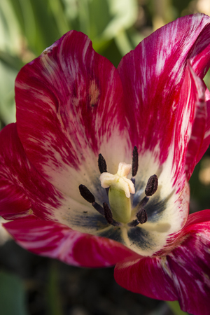 annealed: pink tulip with white Streaks open