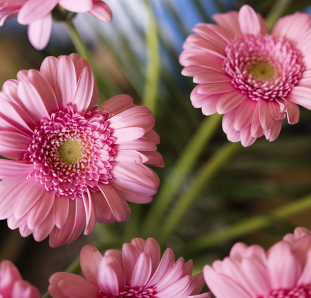 gentleness: pink gerbera flowers