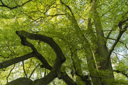 hornbeam: hornbeam tree with bright green leaves sunlit