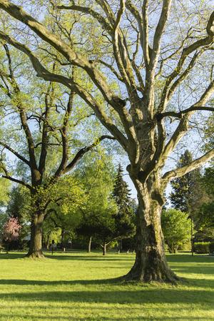 sicomoro: sicomoro nel parco nel sole del pomeriggio