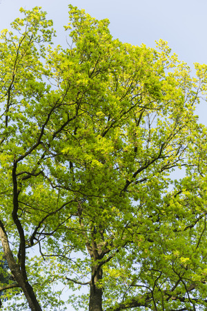 bathed: light green oak leaves in the afternoon sun Stock Photo