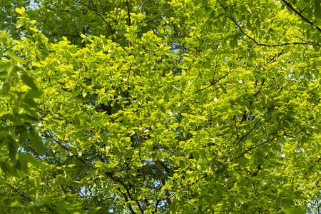 hornbeam: green hornbeam leaves
