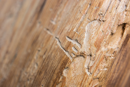 chewed: Old beams bitten paths of beetle larvae