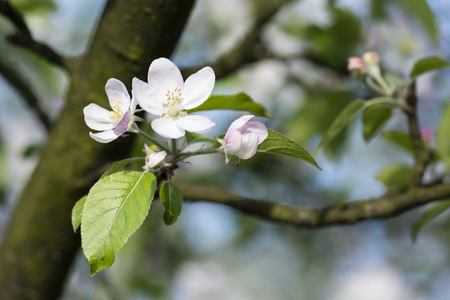 pinkish: apple-blossom pinkish with green leaves
