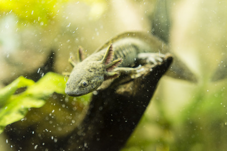 aquatic animal: aquatic animal axolotl