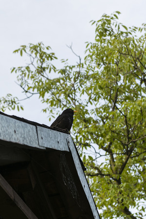 atop: black blackbird sitting atop the roof Stock Photo