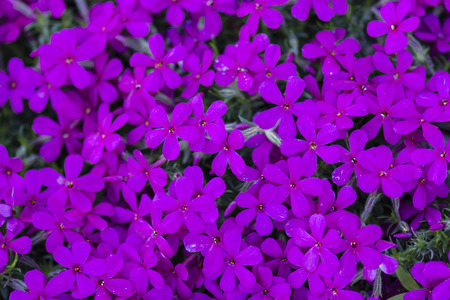 perennials: purple flowers and perennials in rockers Stock Photo