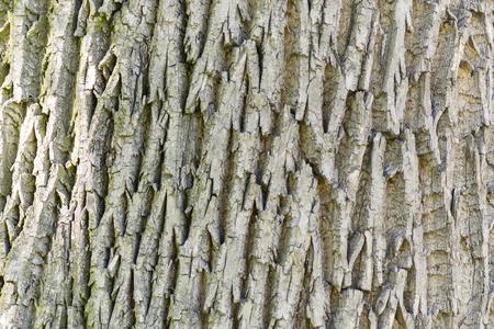 alder: Structure bark of alder Stock Photo