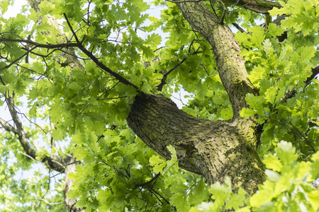 into: Look into the tree with green oak leaves