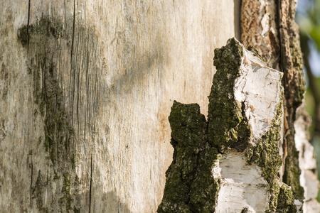 bark peeling from tree: peeling birch bark