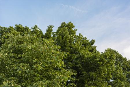 linden tree: The flower buds linden tree.