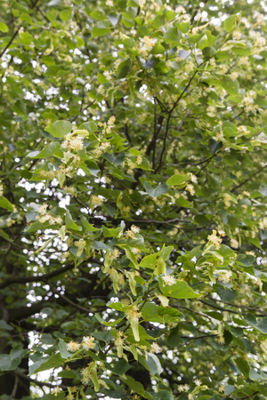 withered: Withered flower linden tree. Stock Photo