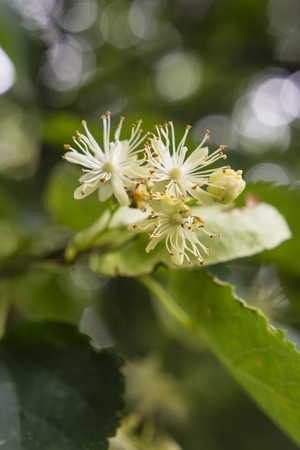 linden tree: Withered flower linden tree. Stock Photo