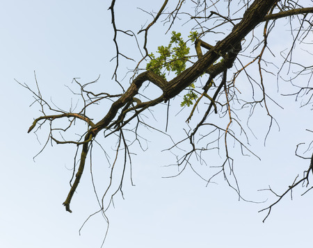 dying: Dying oak branch of green leaves. Stock Photo