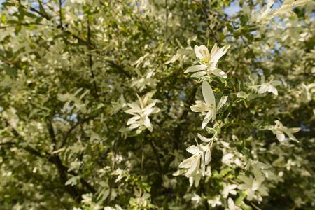 ornamental shrub: Ornamental shrub with white and green leaves.