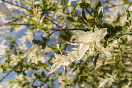 shrub: Ornamental shrub with white and green leaves.